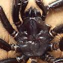Antrodiaetidae: Antrodiaetus