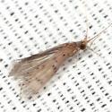 Caddisfly - Oecetis