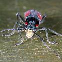Unknown Beetle - Malachius aeneus
