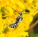 Calliopsis - male