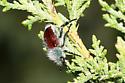 Beetle, fuzzy, metallic - Paracotalpa granicollis