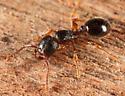 ant - Myrmecina americana
