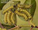 Lophocampa mixta larvae - Lophocampa mixta