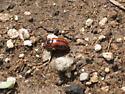 is this a striped ladybug? - Entomoscelis americana