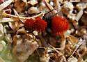 Red Black Insect - Dasymutilla aureola
