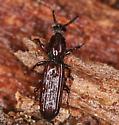 wrinkled bark beetle - Clinidium calcaratum