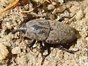 Supposed to be a black weevil? - Sphenophorus inaequalis