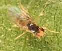 small fly - Gaurax