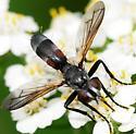 Tachinidae Genus Cylindromyia - Cylindromyia