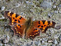Green Comma, Polygonia faunus - Polygonia faunus - male