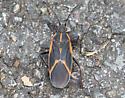 Eastern Boxelder Bug (Boisea trivittata) - Boisea trivittata