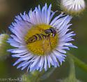 Gorgeous Flower Fly?  - Allograpta obliqua - female