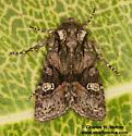 Noctuid - Lacinipolia sharonae