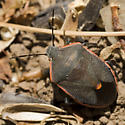 Stink bug - Chlorochroa ligata