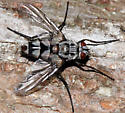 tachinid - Zelia vertebrata - female