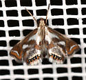 Chrysendeton medicinalis - Bold Medicine Moth - Chrysendeton imitabilis