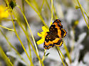 Unknown Butterfly - Chlosyne californica