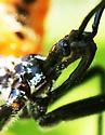 Assassin Bug nymph? - Arilus cristatus