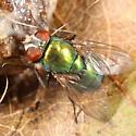 Green calliphorid on squirrel remains - Lucilia coeruleiviridis