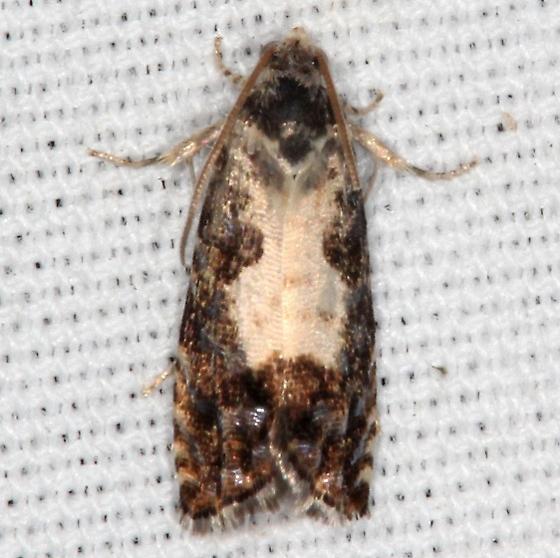 moth - Pammene felicitana