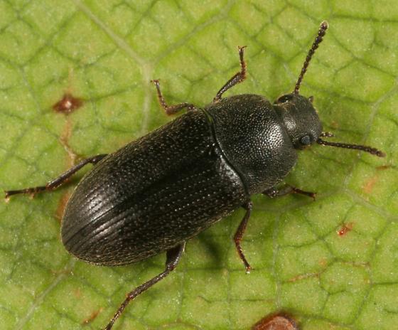 Tenebrionidae - Blapstinus fuscus