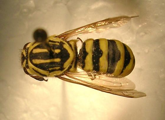 Pseudomasaris coquilletti - female