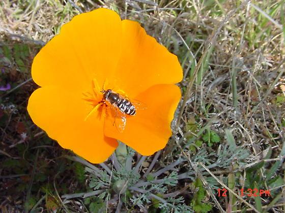 Poppy visitor - Eupeodes volucris