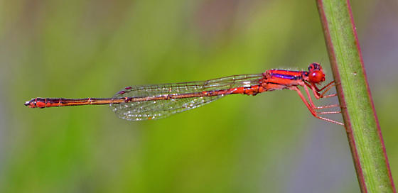Cherry Bluet - Enallagma concisum - male