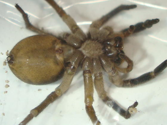 Geolycosa missouriensis - female