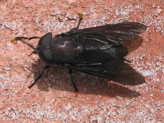 Big Fly - Tabanus atratus