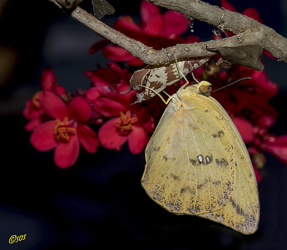 Butterfly - Phoebis agarithe