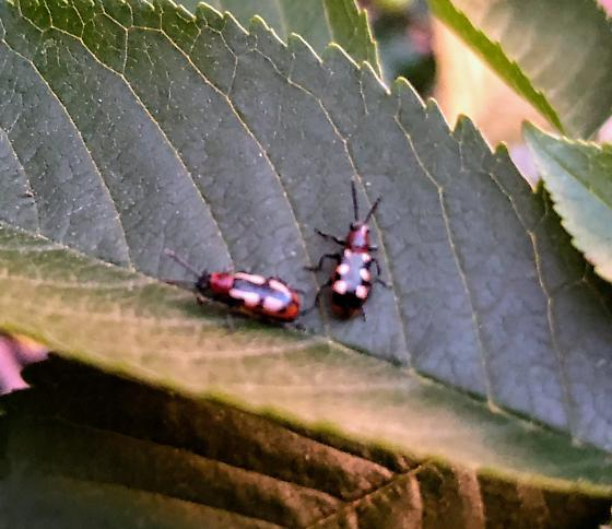 Beetle found on Asparagus Plant - Crioceris asparagi - male - female