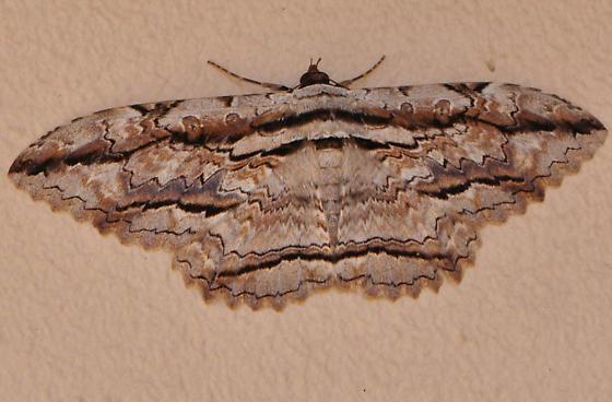 Thysania zenobia - Owl Moth  - male - Thysania zenobia - male