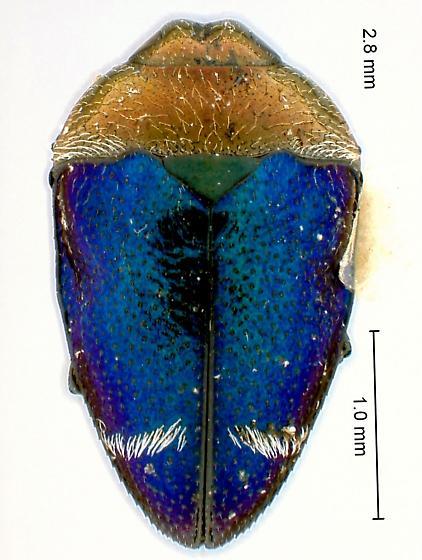 Pachyschelus fisheri Vogt - Pachyschelus fisheri