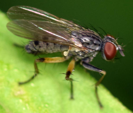 Coenosia octopunctata - Coenosia - male