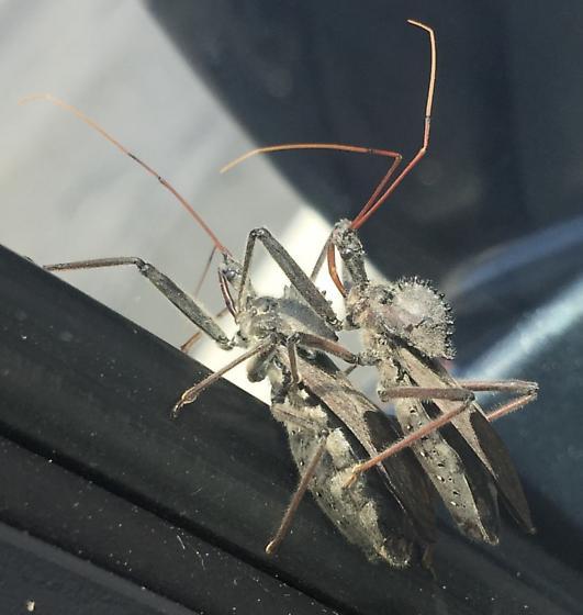 Hanging off of car! - Arilus cristatus