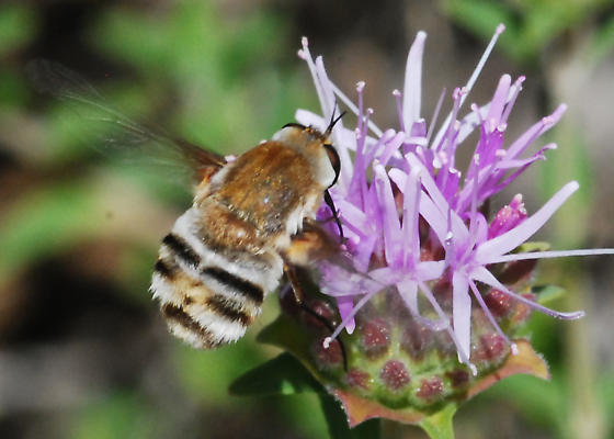 Reality check: Is this the Bomber Fly (Heterostylum robustum)? - Heterostylum robustum