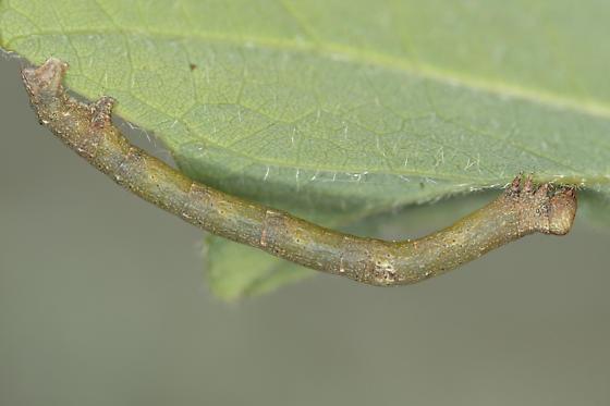 Hypomecis Species - Hypomecis longipectinaria