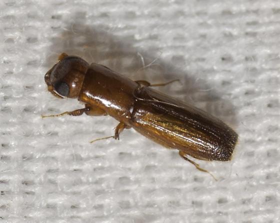 small beetle - Euplatypus