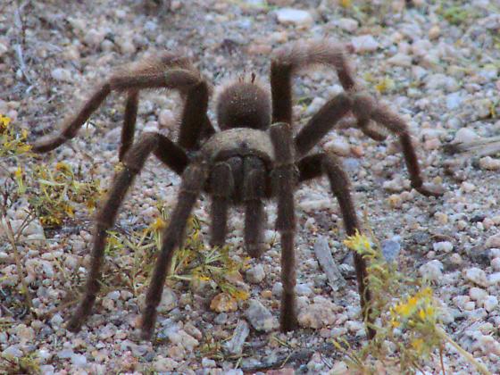 Giant desert spiders