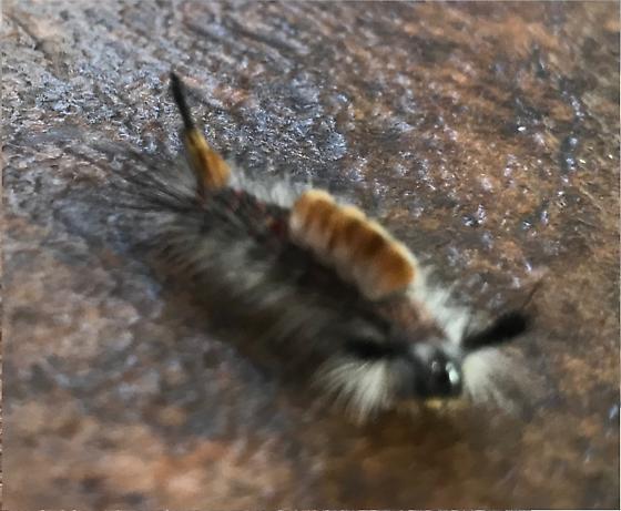 Unknown caterpillar - Orgyia pseudotsugata