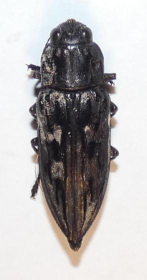 Chalcophora sp. - Chalcophora