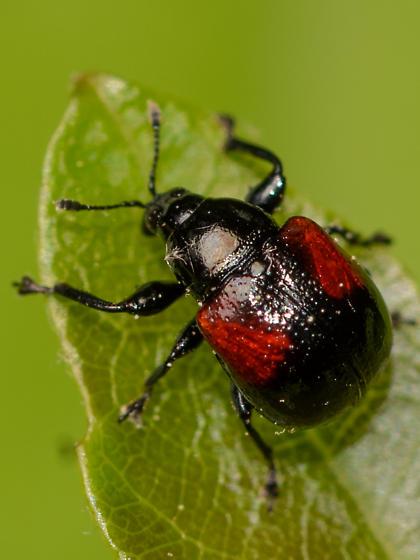 weevil - Synolabus bipustulatus