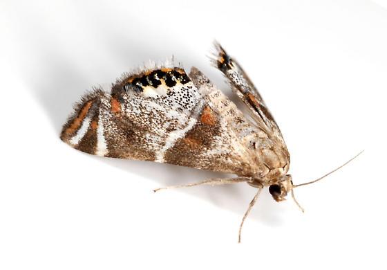 Jumping Spider Mimic Moth - Petrophila jaliscalis