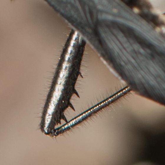 Alydus eurinus - Alydus