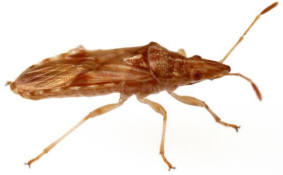 Sycamore Seed Bug? - Belonochilus numenius - female