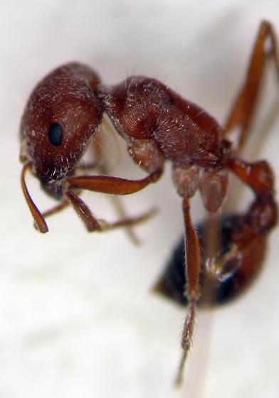 Ants - Pogonomyrmex californicus