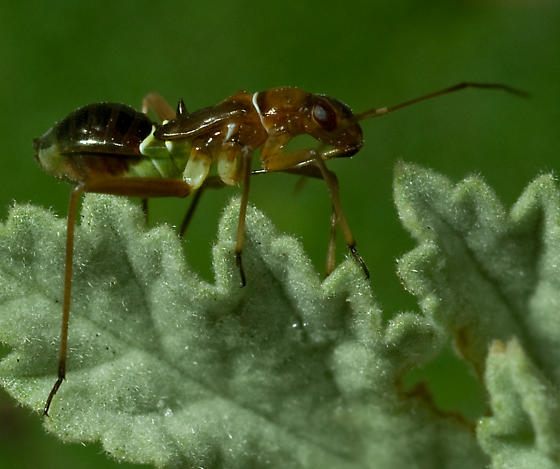 Miridae - Closterocoris amoenus