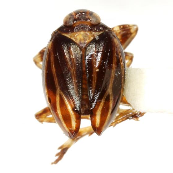 Phylloscelis atra Germar - Phylloscelis atra