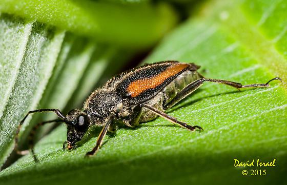 Beetle - Brachyleptura champlaini